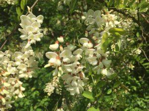 bosco-delle-viole-robinia-pseudoacacia